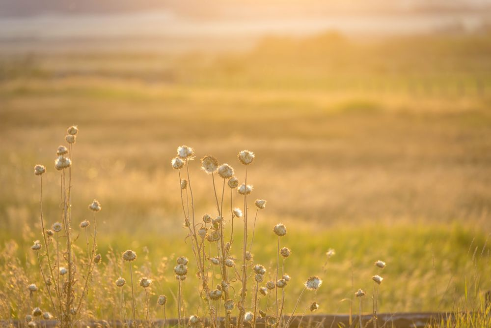 Photo in Nature #thistles #fall #evening #golden hour #light