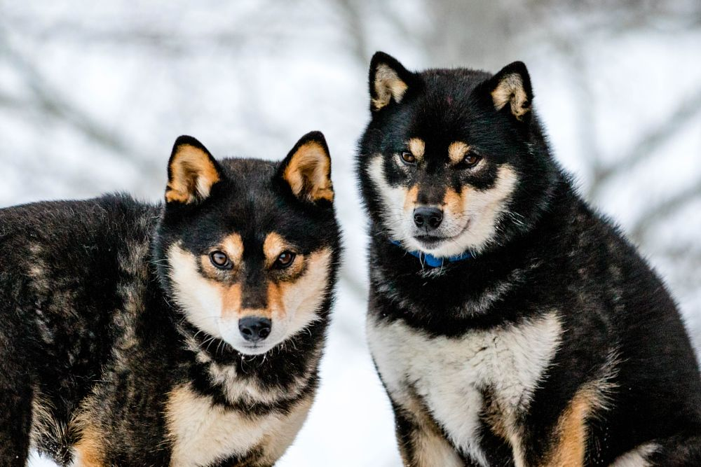 Photo in Animal #dog #dogs #sister #brother #shiba inu #pup #puppy #black and tan #small dog