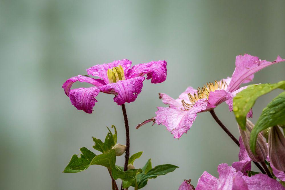 Photo in Nature #clematis #pink #flower #garden #purple #yellow #vine #green