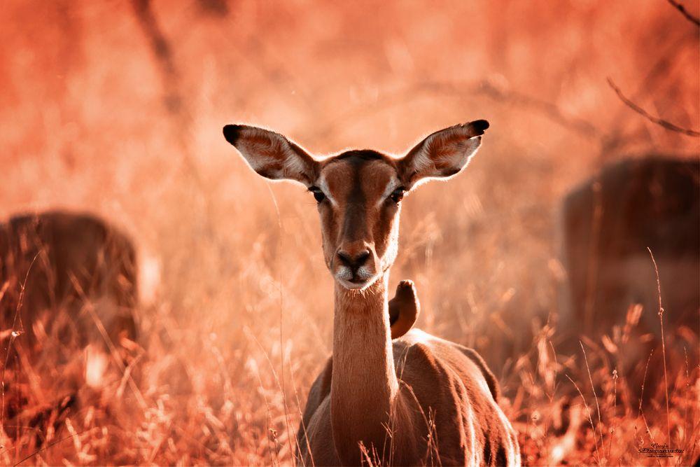 Photo in Animal #impala #buck #south africa #wildlife #nature #canon #sigma