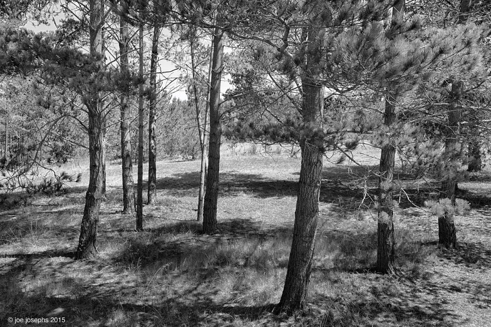Photo in Landscape #drought #california #forests #pine trees #trees #ecology #weather #joe josephs