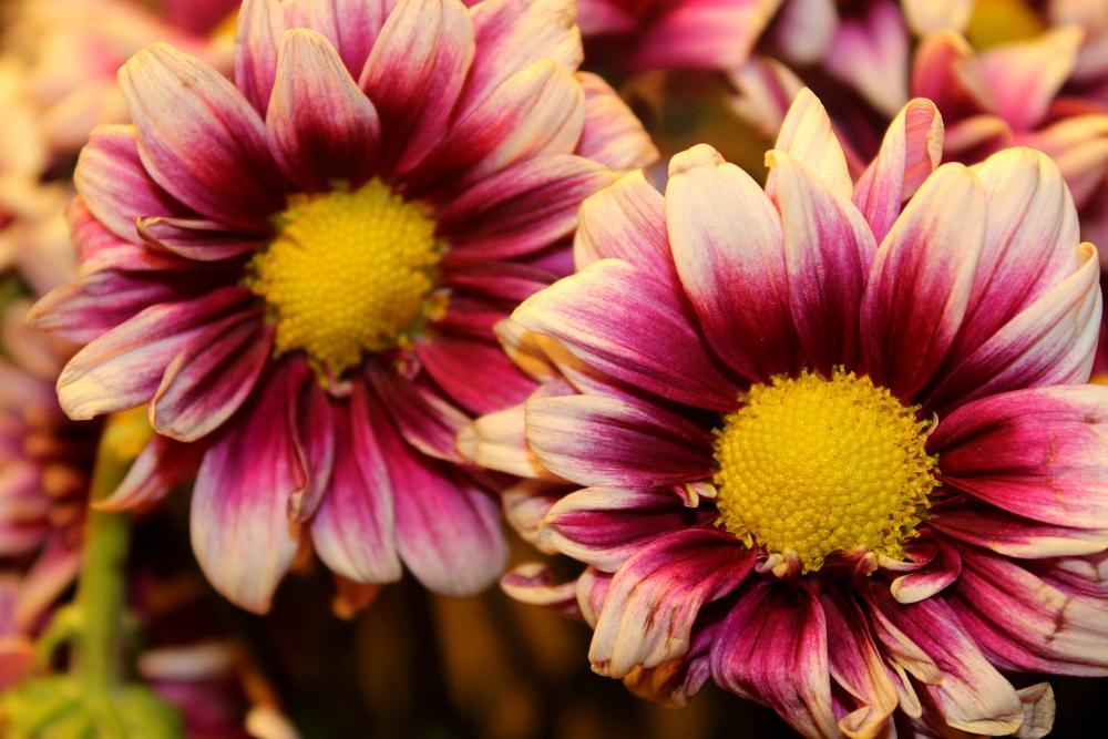 Photo in Nature #pom daisy #daisy #purple
