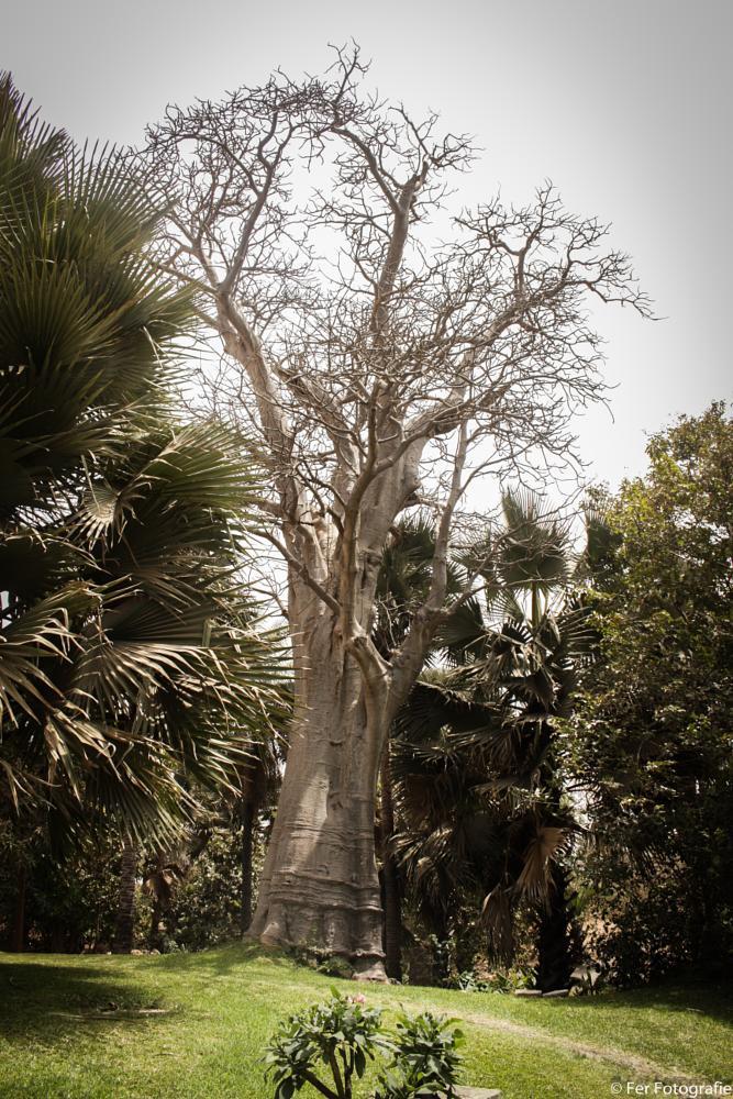 Photo in Landscape #baobab tree #gambia #kotu #banjul #fer #eos