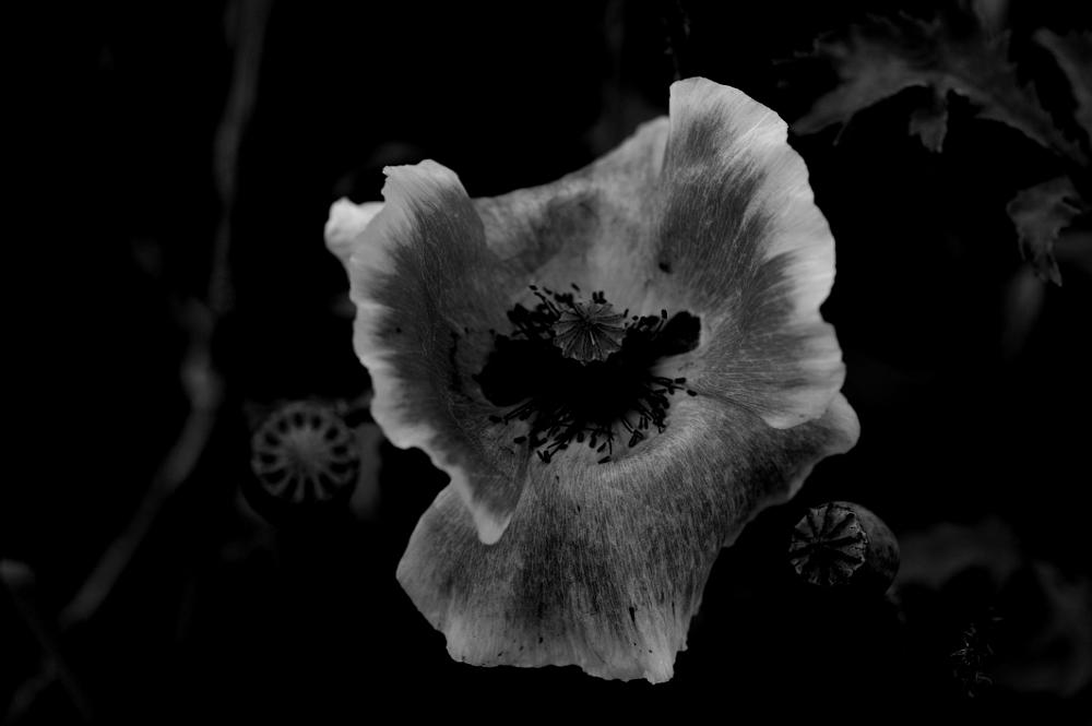 Photo in Nature #black and white poppy
