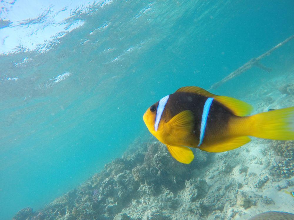 Photo in Underwater #nemo #fish #nemo's   fish #hurgahda #egypt #sea #underwater