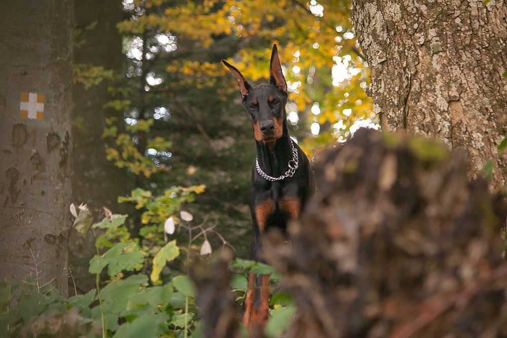 Photo in Animal #doberman #dog #forest #medvednica #nature #danger #autumn