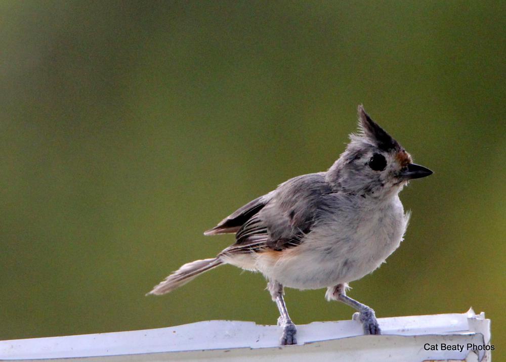 Photo in Animal #titmouse #titmouse #bird #birds