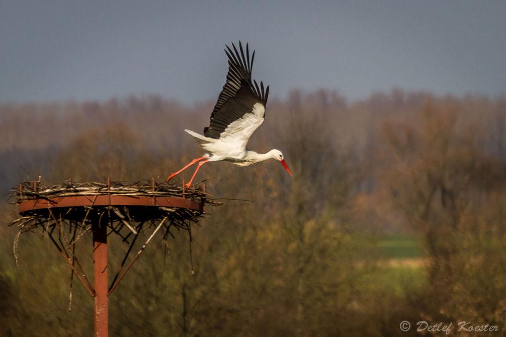 Photo in Animal #bird #stork #start #takeoff #germany #ahsewiesen #nrw #storch #abflug