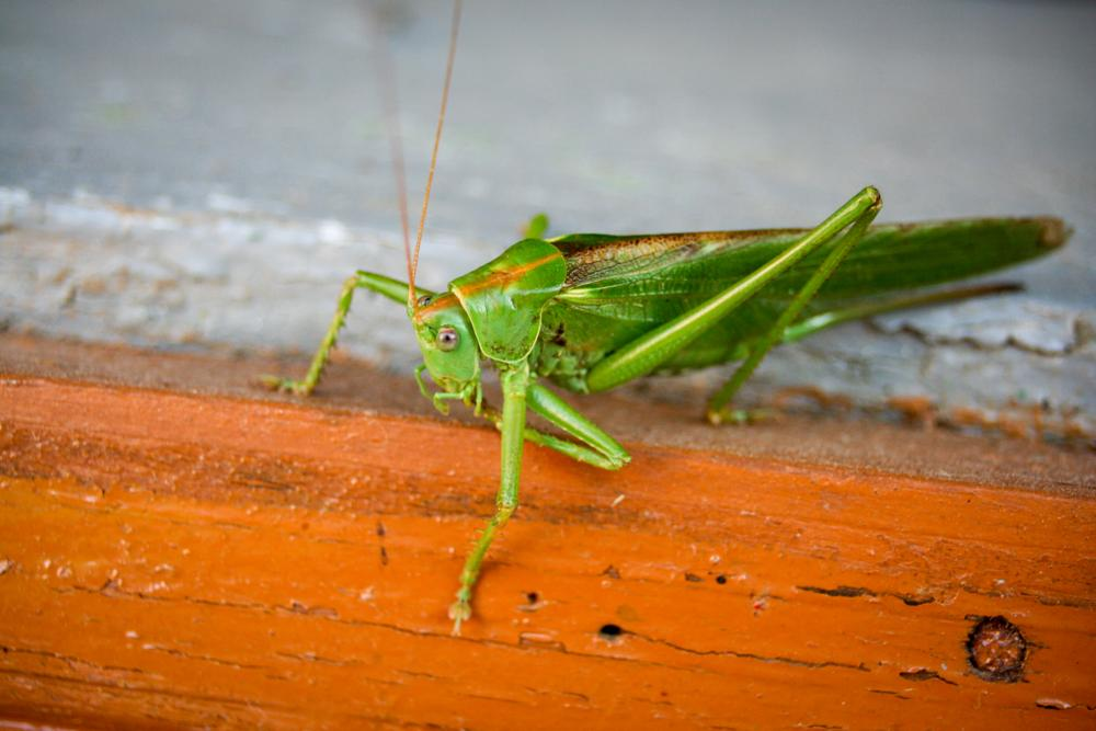 Photo in Animal #grasshopper #green #closeup