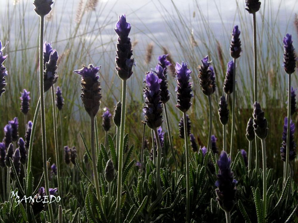 Photo in Nature #flowers #lavanda #landscape #natural
