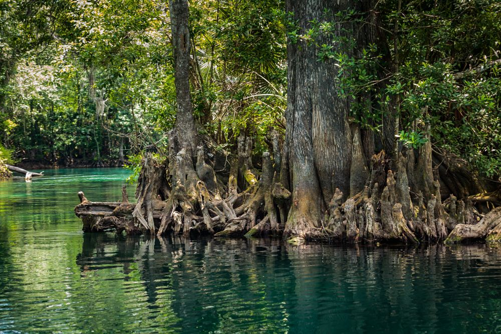 Photo in Nature #river #silver #silver springs #springs #florida #cypress #trees #water #nature