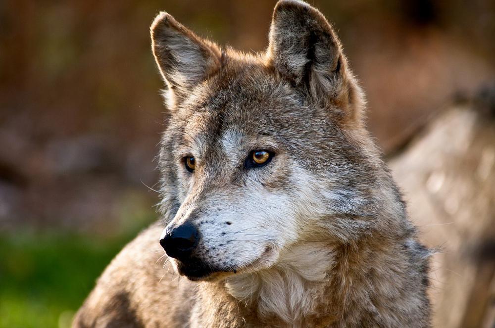 Photo in Animal #animals #wildlife #nature #wolves