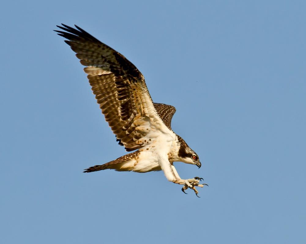 Photo in Animal #animals #birds #ospreys #wildlife #hawlks