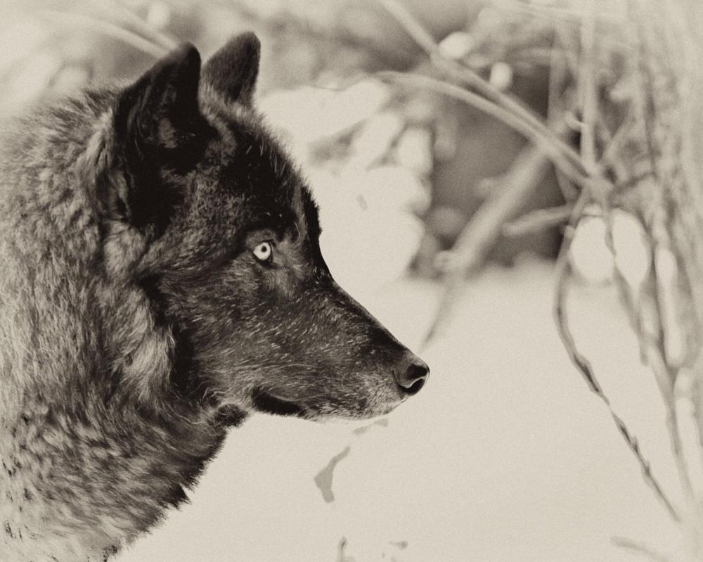 Photo in Animal #animals #wolves #nature #wildlife