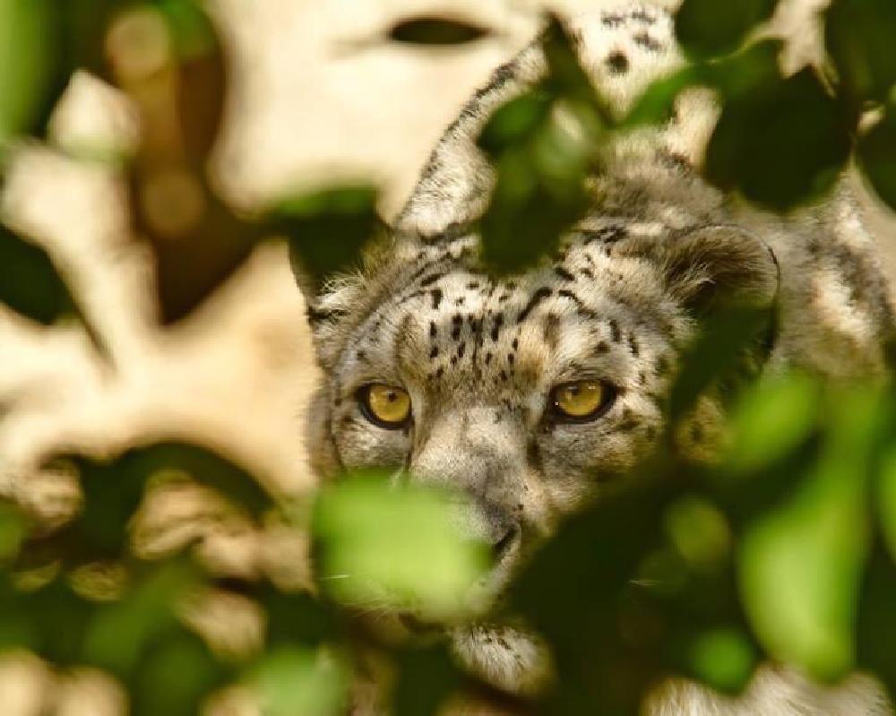 Photo in Animal #animals #wildlife #leopards #big cats #nature