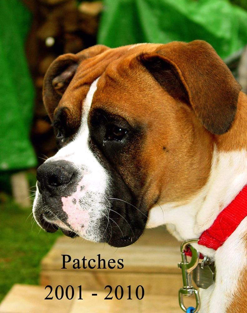 Photo in Animal #animals #dogs #german boxers #boxer dogs