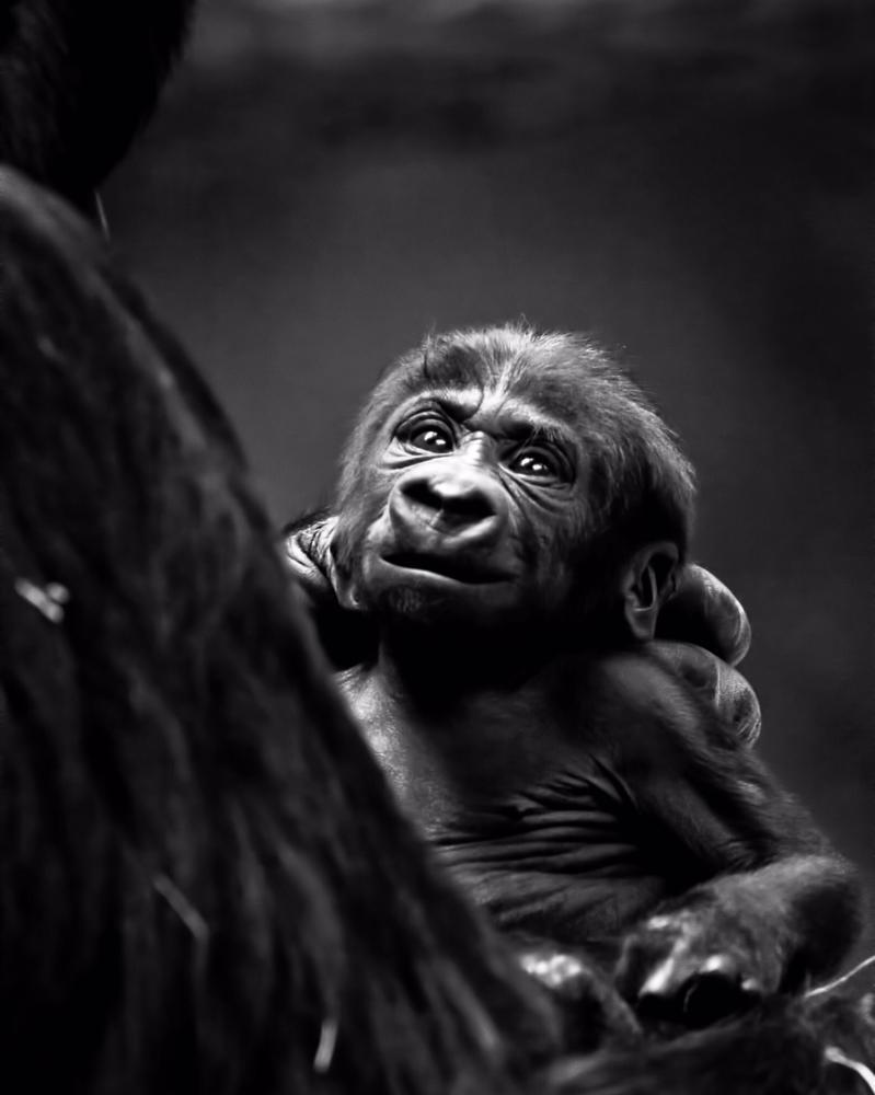 Photo in Animal #animals #wildlufe #zoos #nature #gorillas