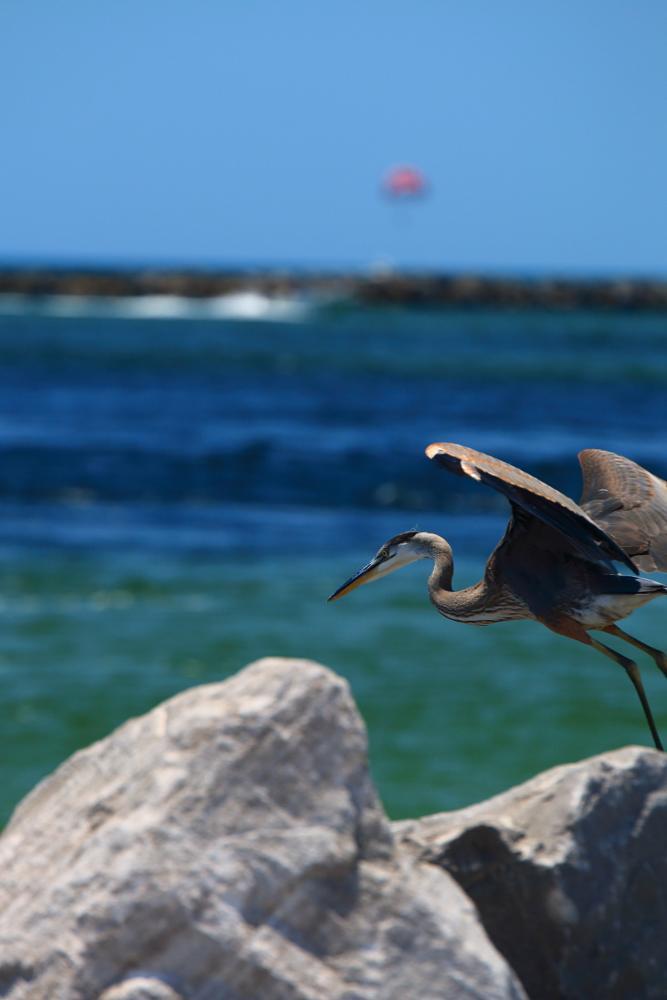Photo in Animal #bird #beach #heron #gulf coast
