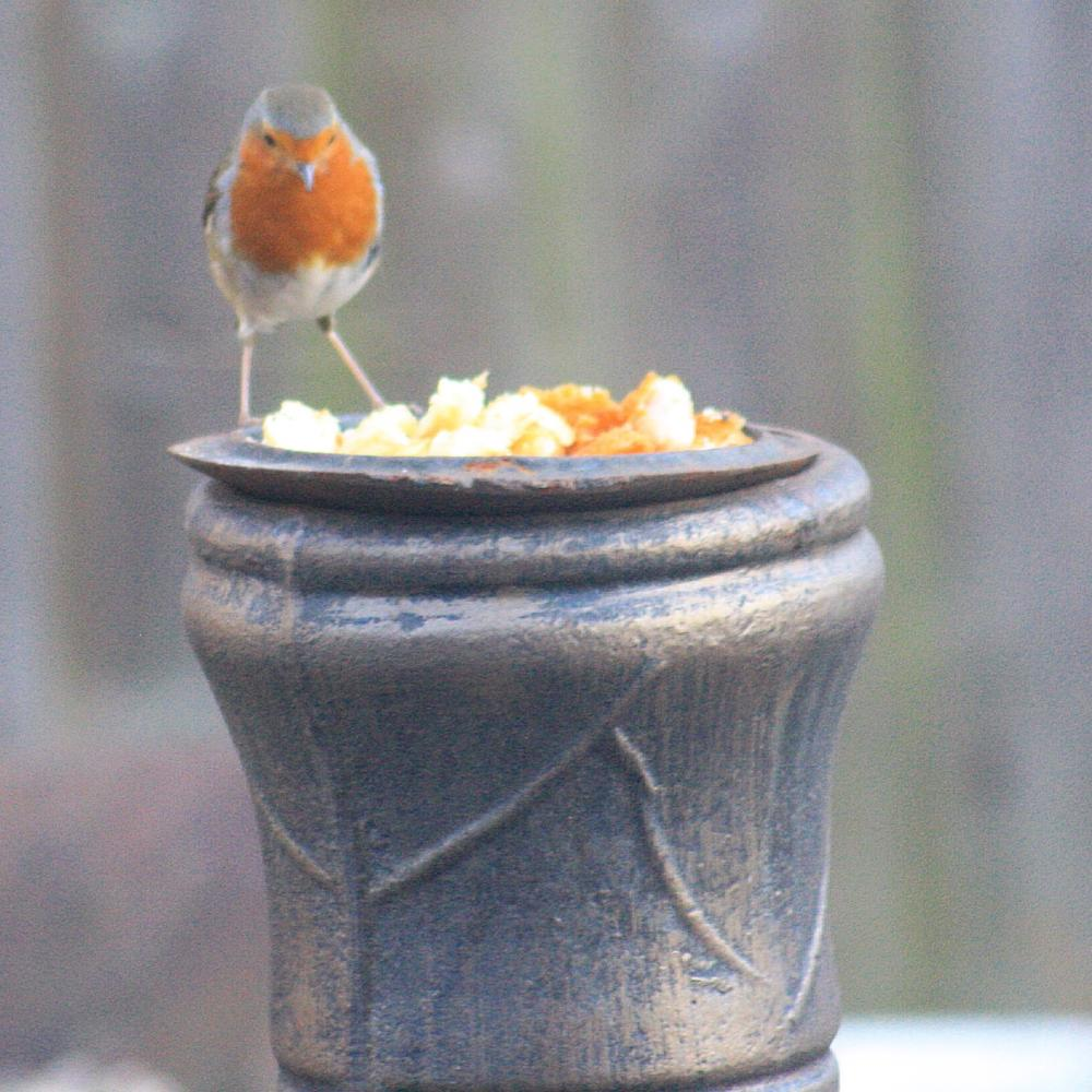 Photo in Animal #robin #small bird #british #uk #wildlife #photography #canon #captured