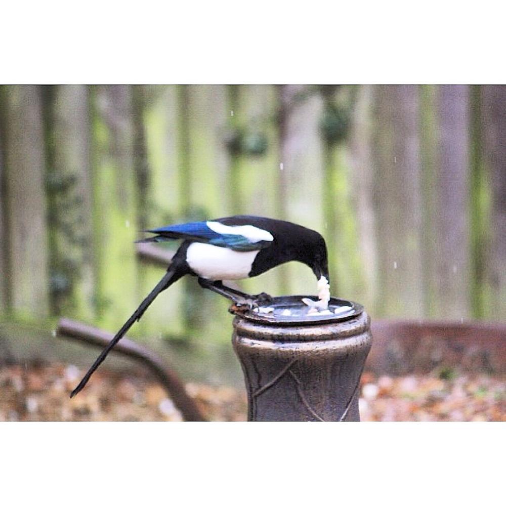 Photo in Animal #garden bird #magpie #british #wildlife