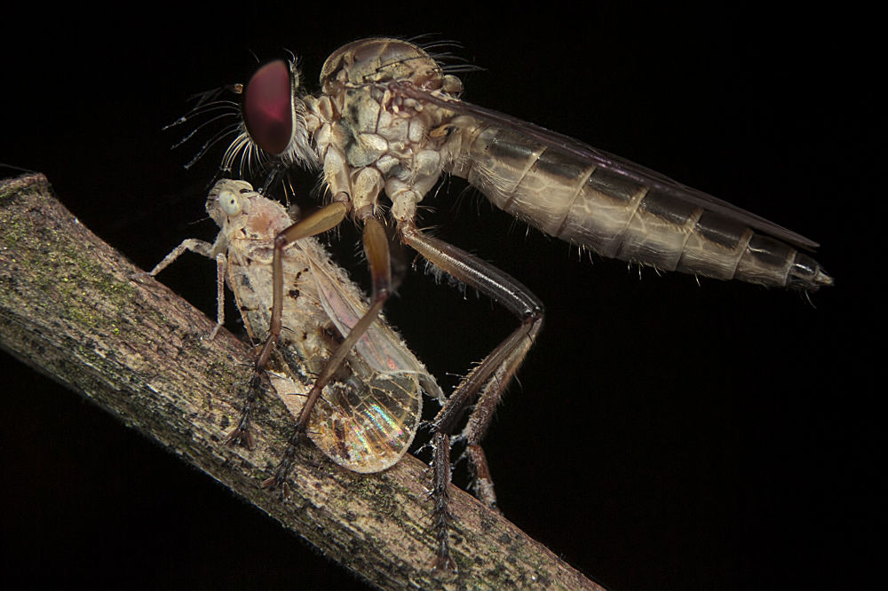 Photo in Macro #macro #robber fly #prey #insect