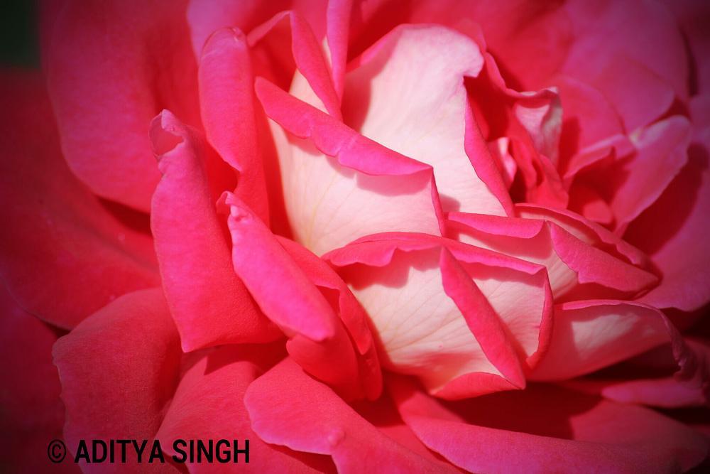 Photo in Macro #rose #petals #beautiful #india