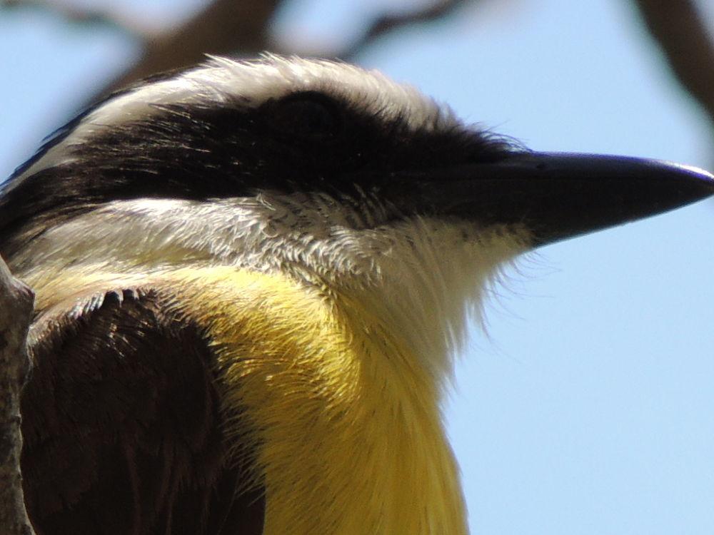Photo in Animal #bird #passaro #bem-te-vi #brazil #p510
