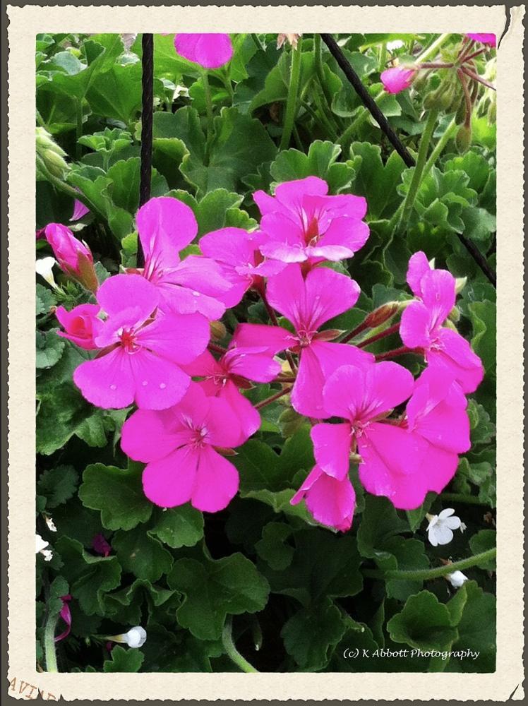 Photo in Nature #flowers #gardening #pink