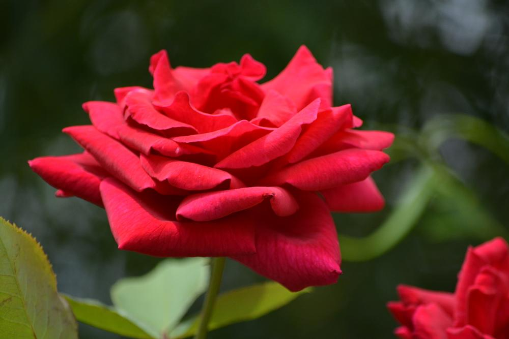 Photo in Nature #red #rose #flower #red rose
