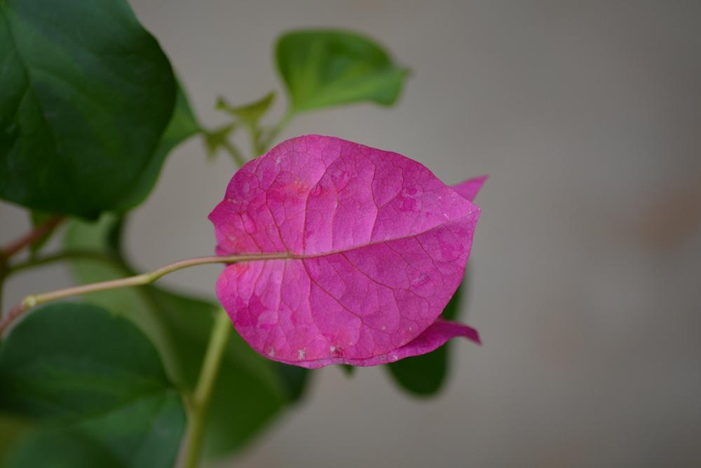 Photo in Nature #bougainvillea #pink #bloom #nature #macro