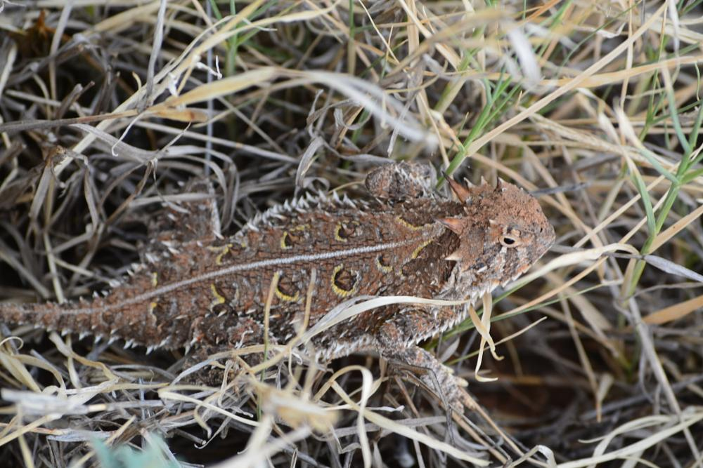 Photo in Nature #texas #lizard #horned toad lizard