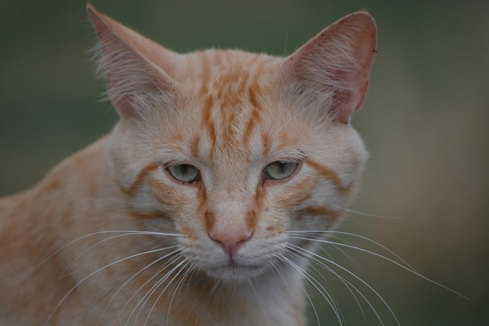Photo in Animal #cat #feline #stare