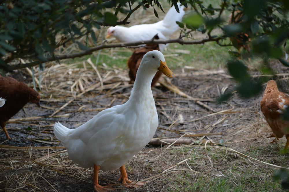 Photo in Animal #duck #chicken