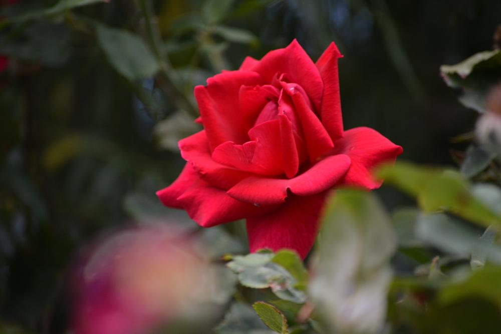 Photo in Nature #rose #red #flower #bloom