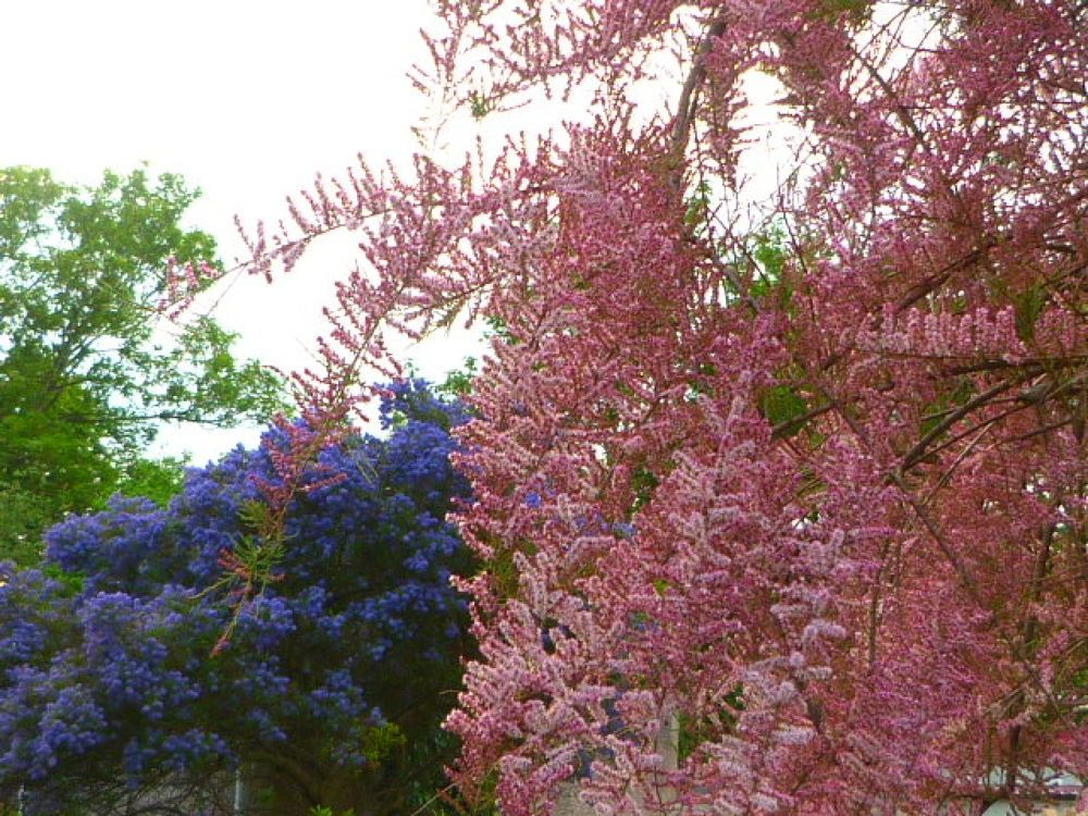 Photo in Nature #pink #pink and blue #flowers #trees #ceanthus #ceanothus #tamarix