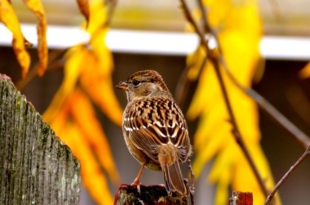 Photo in Animal #bird #birdonfence #fence #brown #feathers #birds #finch