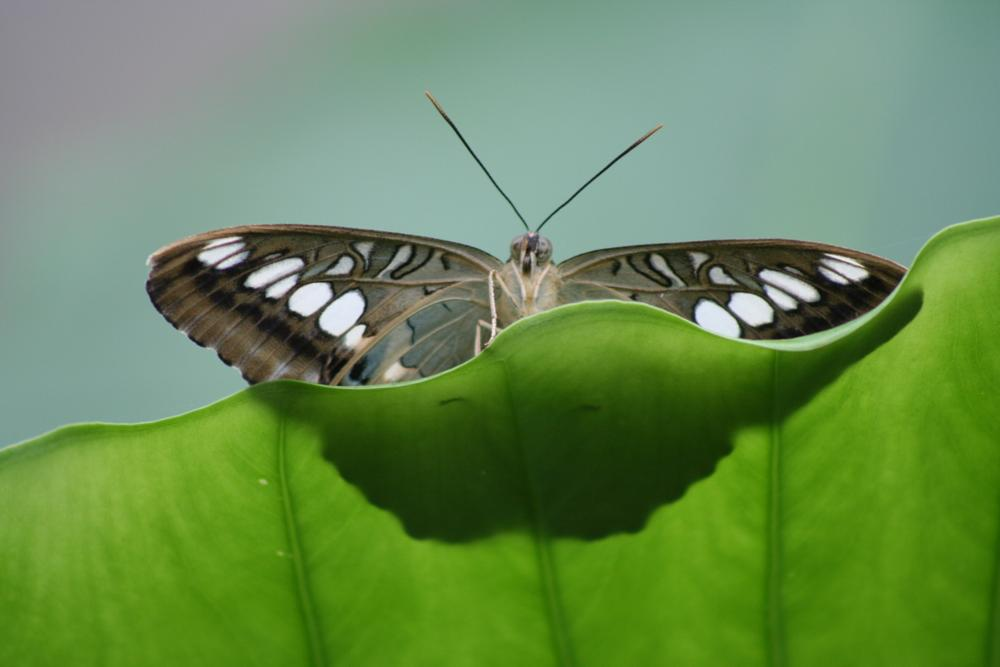 Photo in Nature #nature #butterfly #leaf #green #peek-a-boo