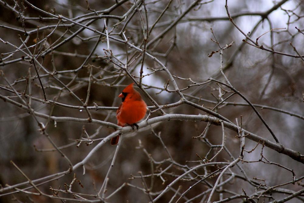 Photo in Still Life #cardinal #red #bird