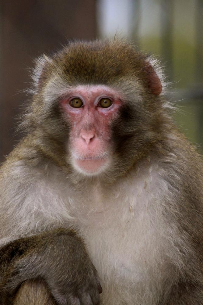 Photo in Animal #macaque #monkey
