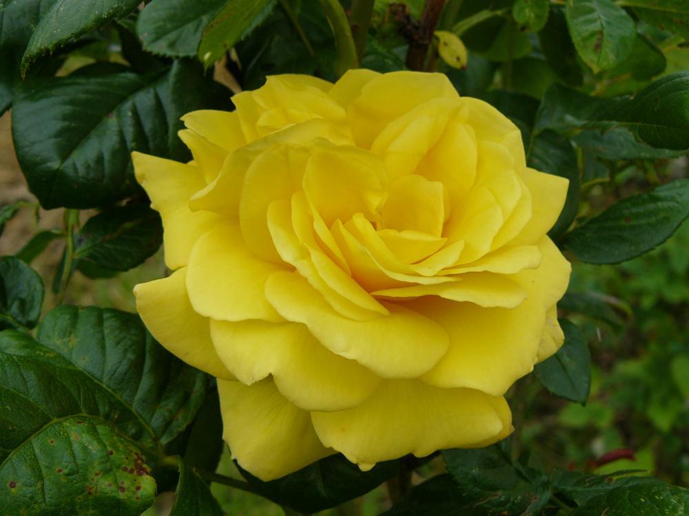 Photo in Random #taunton #hatch beauchamp #rose
