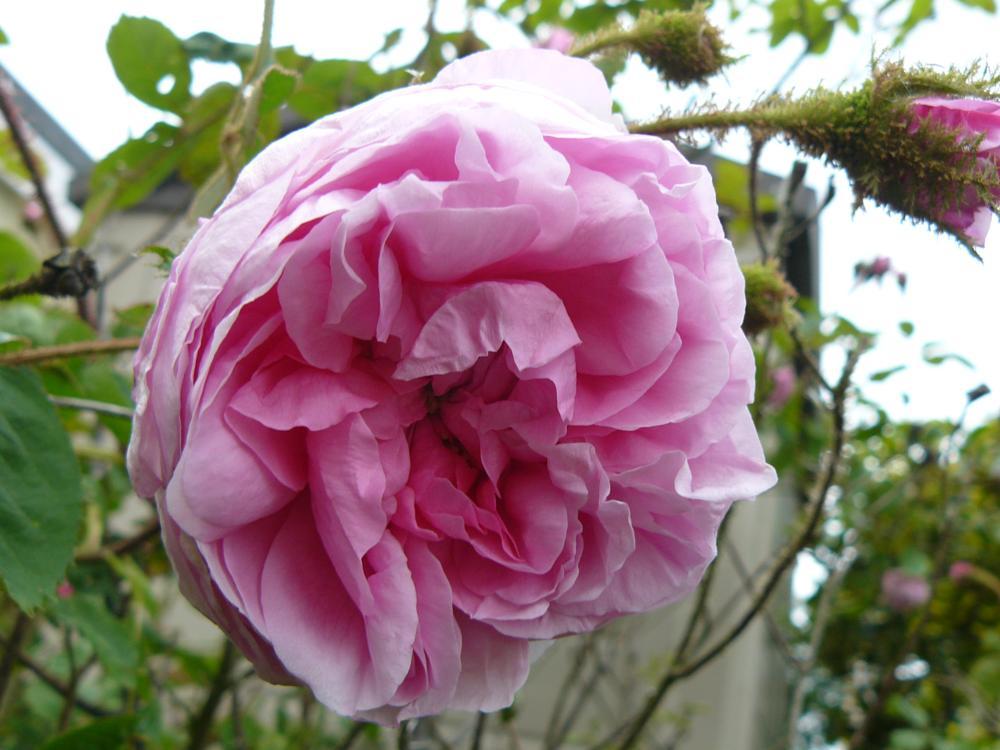 Photo in Random #hatch beauchamp #taunton #somerset #rose