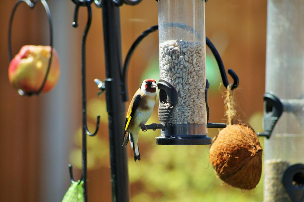 Photo in Nature #goldfinch