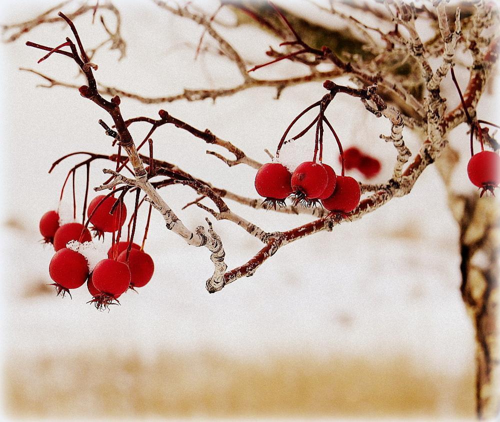 Photo in Nature #berries #winter