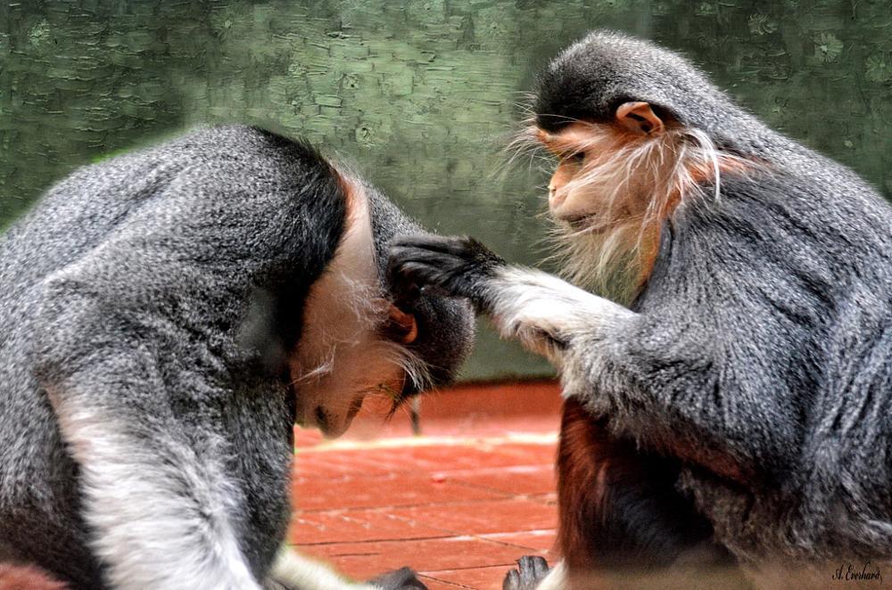 Photo in Animal #primate #monkey #douc langur #endangered #animal