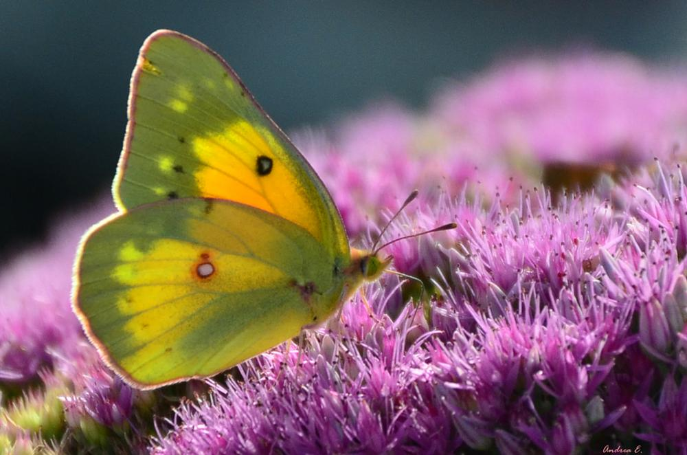 Photo in Macro #butterfly #insect #macro #flower #nature #(c)andrea everhard