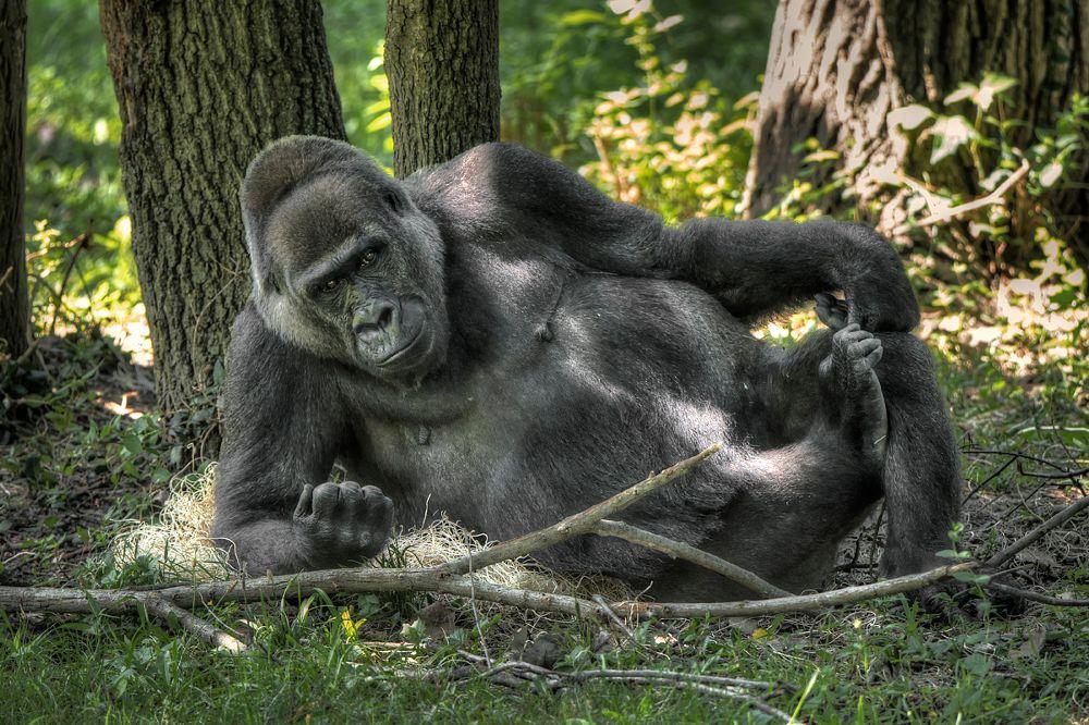 Photo in Animal #gorilla #animal #mammal