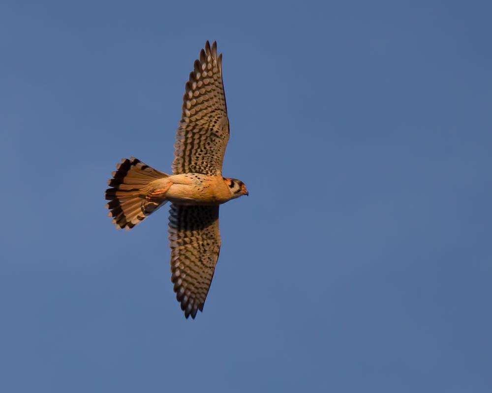 Photo in Animal #birds #kestrel #american kestrel #falcon #bird of prey