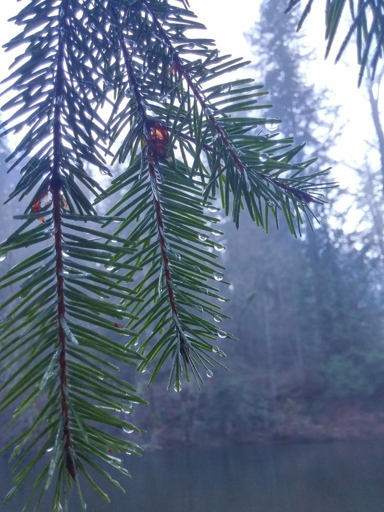 Photo in Nature #cedar river #douglas fir #rain drops