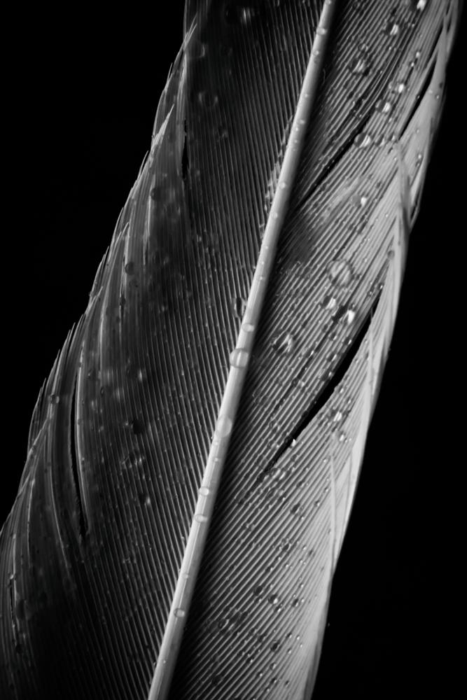 Photo in Black and White #feather #scotland #nature #bird #animal #pet #isolated #black and white
