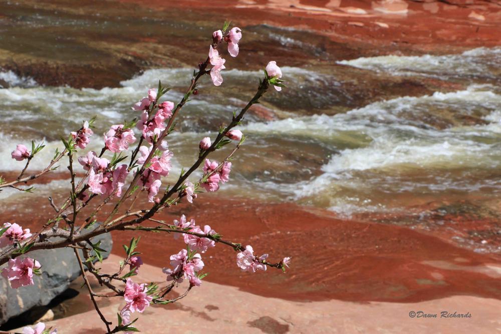 Photo in Landscape #apple blossom #sedona #oak creek #oak creek canyon #arizona #spring